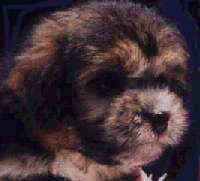 Pepsi aged 8 weeks Aust. Ch. CHINAROAD THUNDERSTRUCK